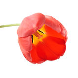 Een tulpenknop Royalty-vrije Stock Afbeelding