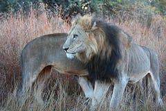 Een twee mannelijke leeuwcoalitie die elkaar omcirkelen Stock Foto