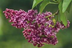 Een twijg van geurige purpere sering tijdens de lente het bloeien royalty-vrije stock foto's