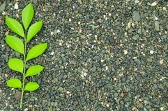 Een twijg van groene bladeren op een steen Stock Afbeeldingen