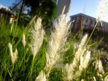 Een type van gras Stock Foto's