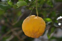 Een type van Sinaasappel royalty-vrije stock fotografie