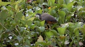 Een type van wilde vogel in Sri Lanka stock videobeelden