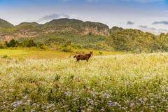 Een typische mening in Vinales-Vallei in Cuba stock foto's