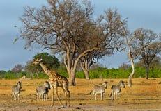Een typische scène in het Nationale Park van Hwange stock foto's