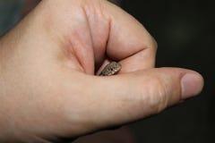Een uiterst kleine bruine hagedis die uit de fotograaf ` s gluren dient Venezuela in stock foto
