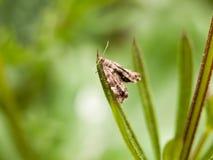 Een uiterst kleine bruine patroonmot die op een grassprietje onduidelijk beeld selec rusten Stock Foto's