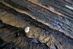 Een Uiterst kleine Overzees Shell stock fotografie