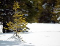 Een uiterst kleine solo boom van de babypijnboom royalty-vrije stock afbeelding