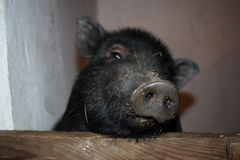 Een varken met een vuile neus piept uit de pen stock afbeeldingen