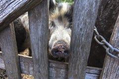 Een varken is om het even welke dieren in de soort Sus, binnen gelijk-toed ungulate familie Suidae De varkens omvatten het binnen stock foto