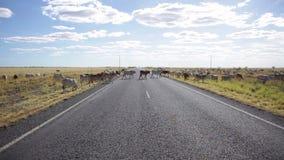Een vee die de weg kruisen stock videobeelden
