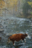 Een vee kruist een rivier Royalty-vrije Stock Afbeeldingen