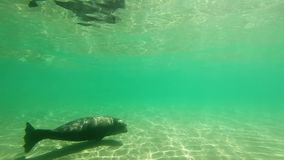 Een Verbinding die langs - Onderwaterlengte zwemmen stock video