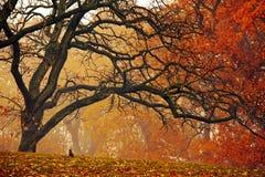 Een verdraaide eik in de herfst Stock Fotografie