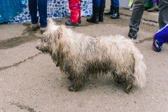 Een verdwaalde hond zoekt zijn eigenaars Verloren Hond Natte, vuile wol Dierlijke buitenkant royalty-vrije stock foto