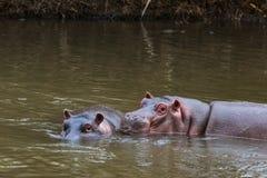 Een vergadering van pachydermen in het water Meru, Kenia Stock Afbeelding