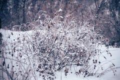 Een verglaasde struik na de bevroren regen stock foto