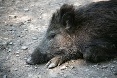 Een vermoeide beer stock foto