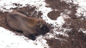 Een vermoeide bizon in de winter stock footage