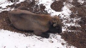 Een vermoeide bizon in de winter stock videobeelden
