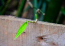 Een Vers Groen Blad tegen Donkergroene en Houten Achtergrond - de Natuurlijke Achtergrond van de Milieuplantkunde Royalty-vrije Stock Foto