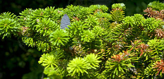 Een verscheidenheid van groene pijnboom Royalty-vrije Stock Foto