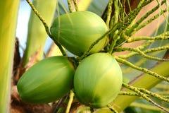 Een verse jonge kokospalm, Close-up Royalty-vrije Stock Afbeelding