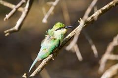 Een verstoorde groene Bijeneter Royalty-vrije Stock Afbeeldingen