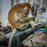 Een verwaande aap staart bij zich in de spiegel stock afbeelding