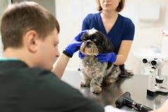 Een veterinaire oftalmoloog maakt een medische procedure, onderzoekt de ogen van een hond met een verwond oog en assisent hulp ha stock foto's