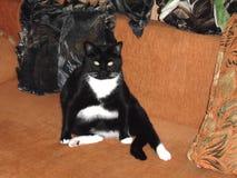 Een vette kat droomt over een grote plaat van voedsel royalty-vrije stock fotografie