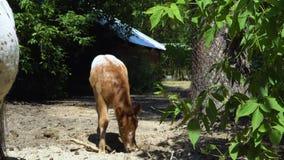 Een veulen van de Appaloosa-poney stock videobeelden