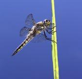 De Libel van de schuimspaan (Jager) Royalty-vrije Stock Foto