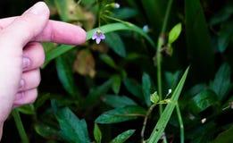 Een vinger en een bloem Stock Afbeeldingen