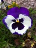 Een violette Vlinderbloem Stock Foto