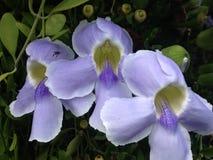 Een viooltje bloeit Royalty-vrije Stock Afbeeldingen