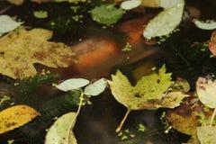 Een vis in de vijver wordt gevangen die Stock Foto