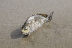 Een vis dood op het strand Royalty-vrije Stock Afbeelding