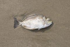 Een vis dood op het strand Stock Afbeelding