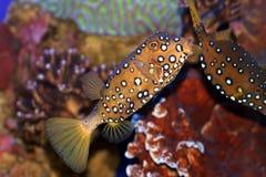 Een vis van het Koraal in het Rode Overzees Stock Foto