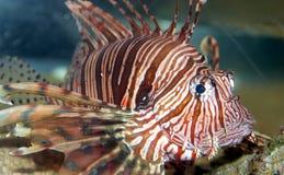 Een vis van het Koraal in het Rode Overzees Royalty-vrije Stock Afbeelding