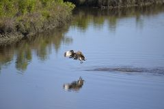 Een visarend wordt klaar om nogmaals in de waterweg voor zijn prooi te duiken stock foto