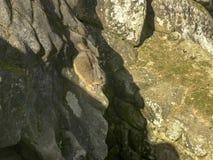 Een viscacha van machupicchu spoedt zich aan zijn gat royalty-vrije stock afbeeldingen