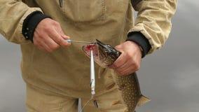 Een visser neemt vissen van een snoek met een stok stock videobeelden