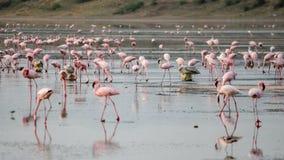 Een vlaag van flamingo's bij Meer Magadi, Rift Valley, Kenia stock afbeelding