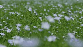 Een vlasgebied in bloei stock footage
