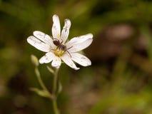 Een vlieg in het centrum van een klein wit bloemhoofd buiten in Royalty-vrije Stock Afbeelding