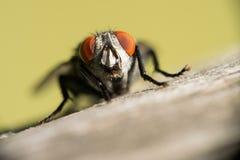Een vlieg met grote rode gefacetteerde ogen, zit op een houten oppervlakte Op een gekleurde achtergrond Macro Royalty-vrije Stock Foto's