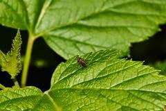 Een vlieg op een blad van bes royalty-vrije stock foto's